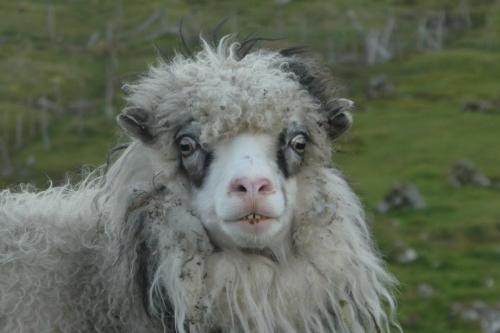 2nd - Denis Cullen - Faroese Sheep